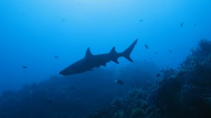 tubbataha_reef_shark