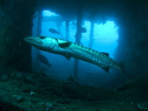 Tulamben-Liberty-wreck_barracuda