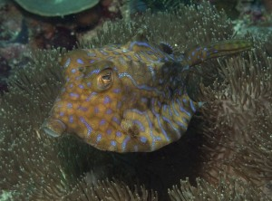 horned_box_fish