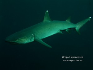 white-tip-reef-shark